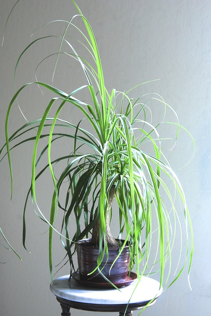 homemade planter for a ponytail plant (2012)