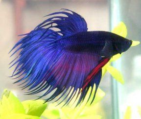 """Betta fish a.k.a. Siamese Fighting Fish.  """"Clinton"""" is my current Betta; I have also had """"Luke"""", """"Mark"""", """"Pepper"""", and """"Monty""""."""