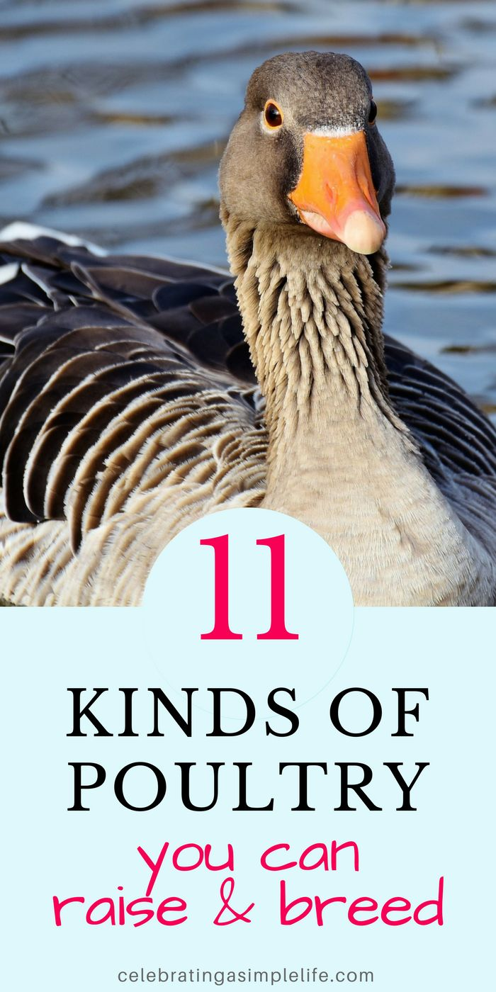 kinds of poultry you can raise on a small farm or homestead! Way more than just chickens!