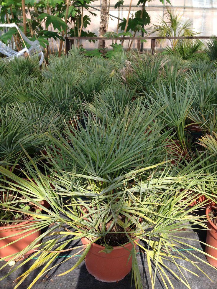 Chamaerops humilis cerifera is a palm hardy in the UK