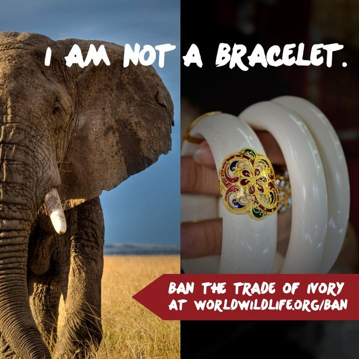 It's time to end the illegal trade of ivory & save the wild elephants. Please share this image on your wall.