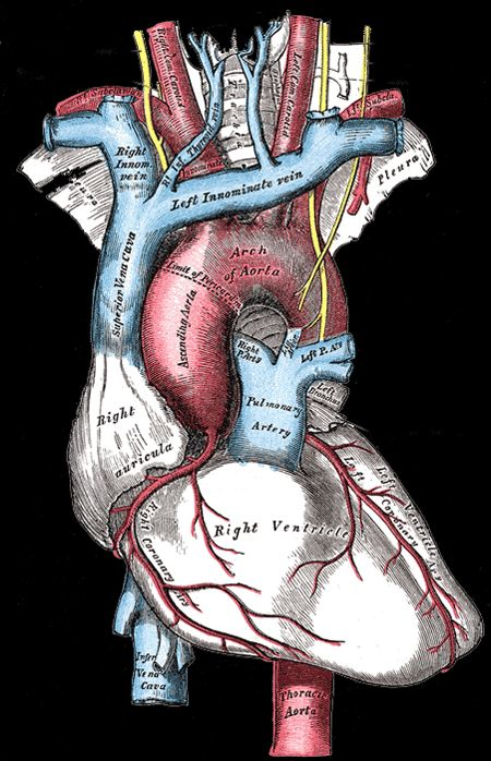 54 best Anatomical:Hearts:Medical Illustrations images on ...