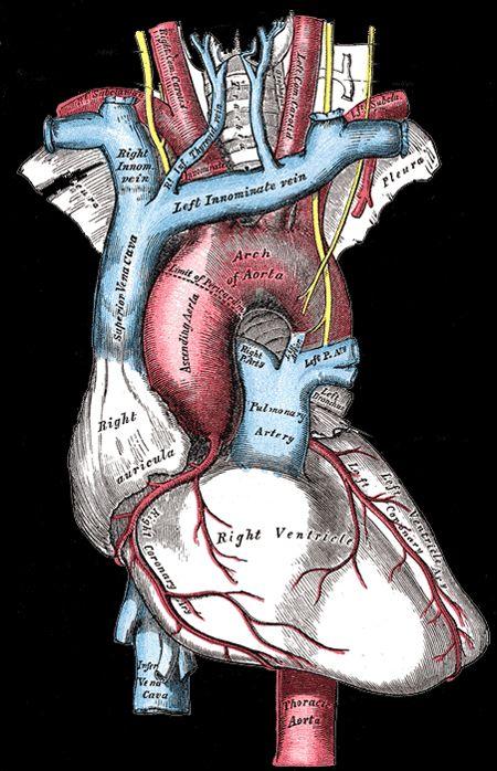 Heart Anatomy From Grays Anatomy Nursing Nursing Pinterest