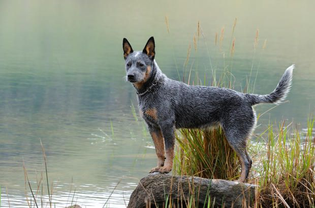 9 Hearty Facts About Australian Cattle Dogs