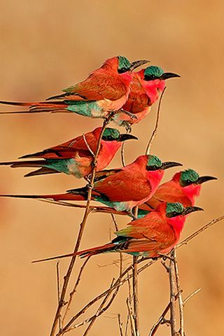 Southern Carmine Bee-eaters. Carmine   Bee-eaters are social birds breeding in colonies on river banks and foraging out   over open country. They are attracted to bush fires and hawk around the edges;   their Mandinka name (in The Gambia) means 'cousin to the fire.' This species   occurs across sub-equatorial Africa.