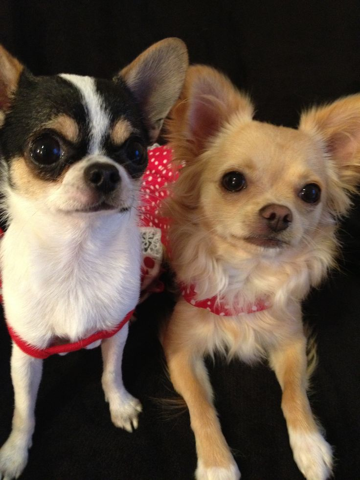 high chihuahua 1000 images about chihuahuas on pinterest chihuahuas 1781