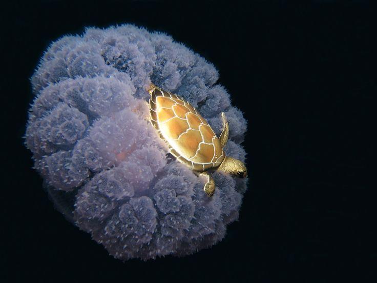 Blog Medioambiente.org: Una tortuga de mar cabalgando sobre una medusa