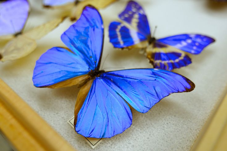 What does it mean to be blue? The wings of a Morpho butterfly are some of the most brilliant structures in nature, and yet they contain no blue pigment -- they harness the physics of light at the nanoscale.