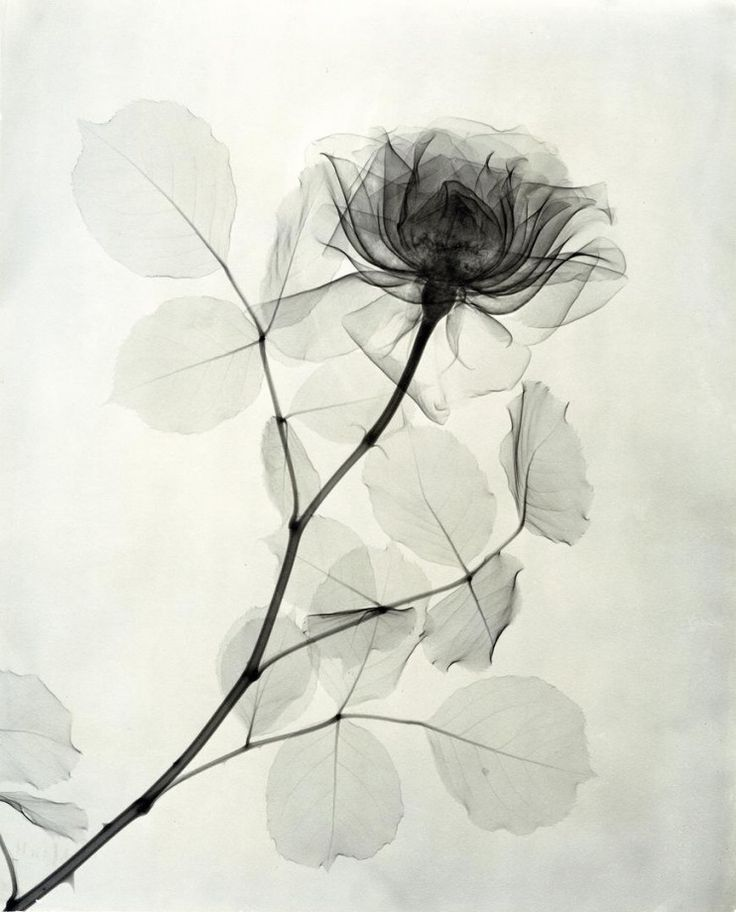 The floral passion of a radiologist in 1930: In the 1930s Dr. Dain L. Tasker, a radiologist from a Los Angeles hospital, has satisfied his passion for flowers using his tool to perform hundreds of x-rays that show transparency.