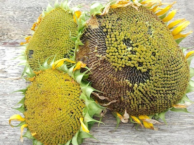how to grow sunflower seeds to eat