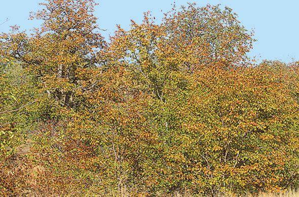 Colophospermum Mopane        Mopane/ Turpentine Tree     Mopanie     S A no 198          Brett Hilton-Barber