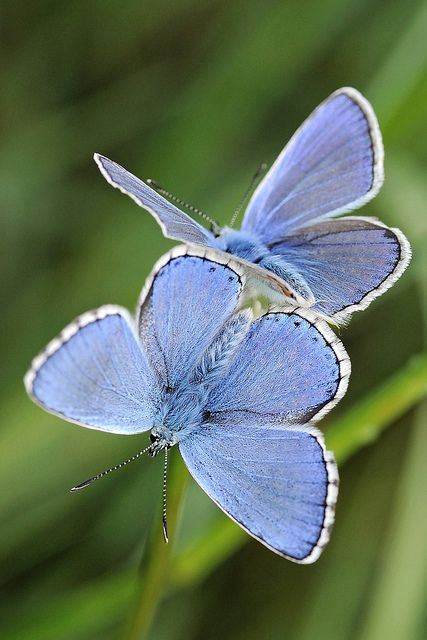 'Blues' by Stefano Trucco {ste.it}  {Polyommatus icarus} ~ Common Blue male butterflies