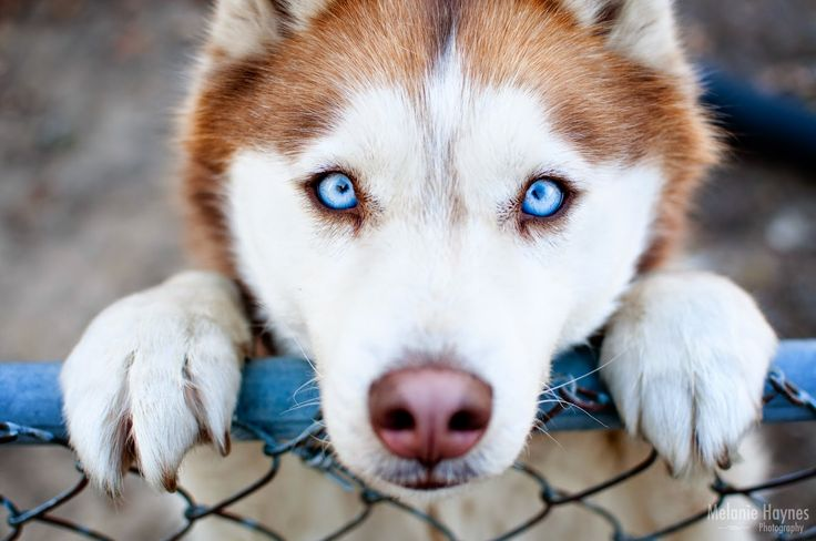 17 Best Images About Husky On Pinterest Beautiful