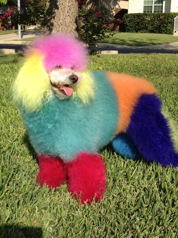 Rainbow colored Poodle By: Allen Hanauer @ www.sak9s.com ...
