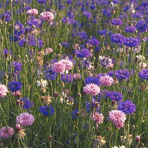 Beneficial Borders: Control pests by planting flowers that lure beneficial insects.: Beneficial Insects, Organizations Gardens, Plants Flowers, Insects On Plants, Gardens Pest, Bachelor Buttons, Flower Borders, Flowers Border, Wild Flowers