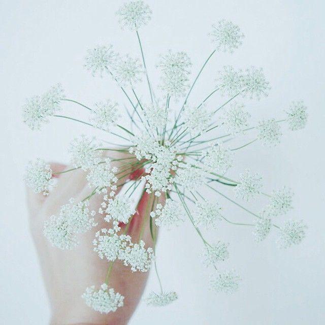 シャクの花 Koiranputki  Anthriscus sylvestris, known as cow parsley, wild chervil,wild beaked parsley, keck,or Queen Anne's lace