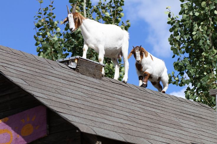 Unusual picts from a farm wedding at Prairie Gardens.  Goats on the roof!  www.PrairieGardens.org