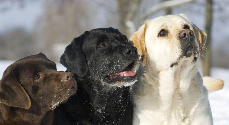 English Lab – Your Guide To The English Labrador Retriever #dogs