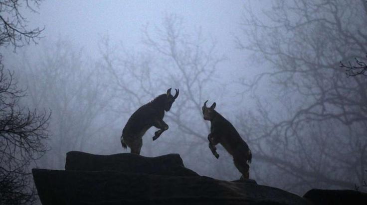 Bergziegen kämpfen im Wuppertaler Zoo