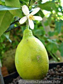 La fleur est parfois présente en même temps que le fruit sur le citronnier 4 saisons