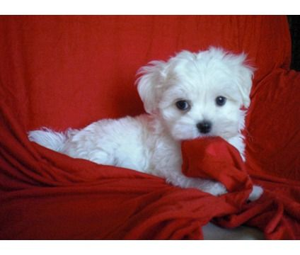 Beautiful Maltese Puppies is a Male Maltese Puppy For Sale in Long Beach CA