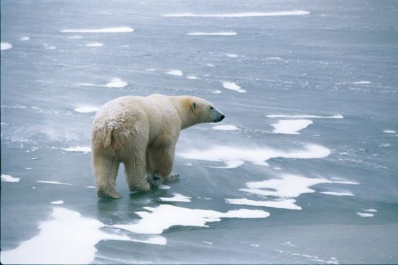 Endangered Beauties: Images of Polar Bears | LiveScience