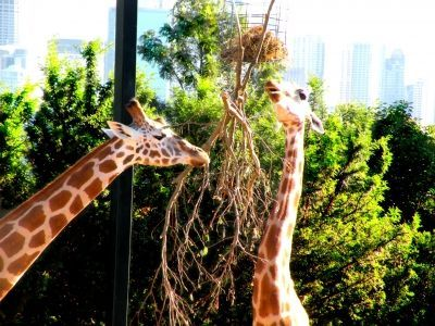 The giraffes at Toronga Zoo, Sydney.  Click to see cute giraffe gifts.