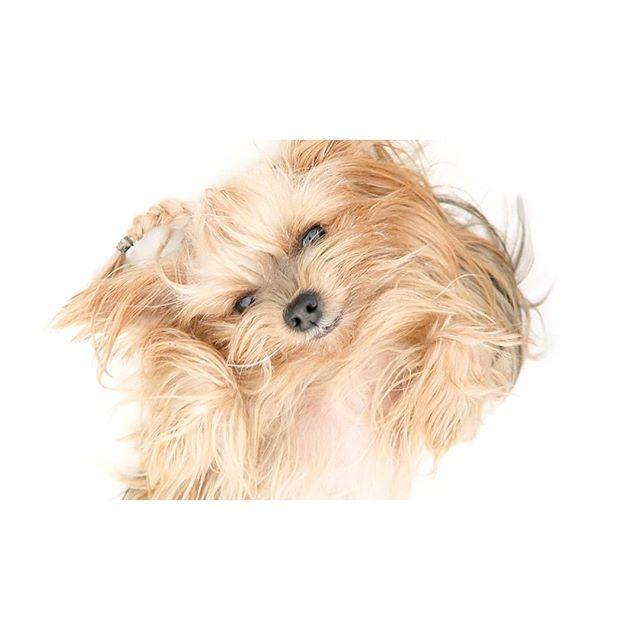 Yo de verdad, es que me la como entera  Por cierto, ya tenéis el nuevo vlog subido en ww.youtube.com/secretosdechicasvlog ✊ Qué acabéis de pasar un feliz domingo ❤ #missybonita #yorkshire #dog #instadog #sunday #beauty #braid #braids #secretosdechicas #patryjordan