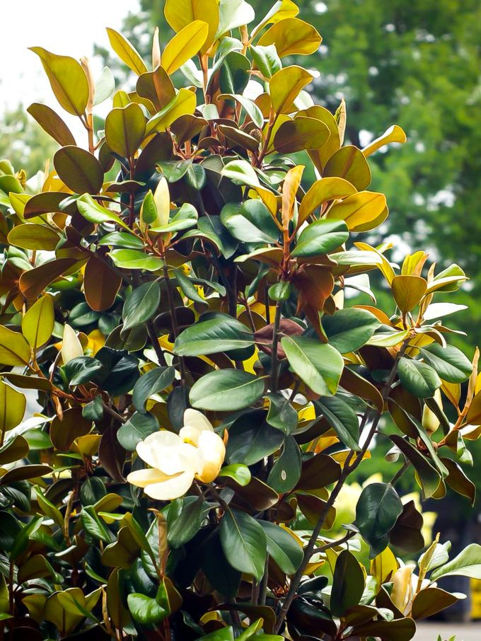 Magnolia Trees For Sale Buy Magnolia Trees Online The Tree Center In 2020 Magnolia Trees Magnolia Tree Landscaping Southern Magnolia Tree