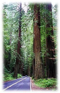 arcata ca   Redwoods near Arcata, California