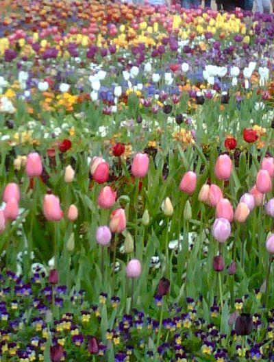 Tulips Floriade Canberra, Australia