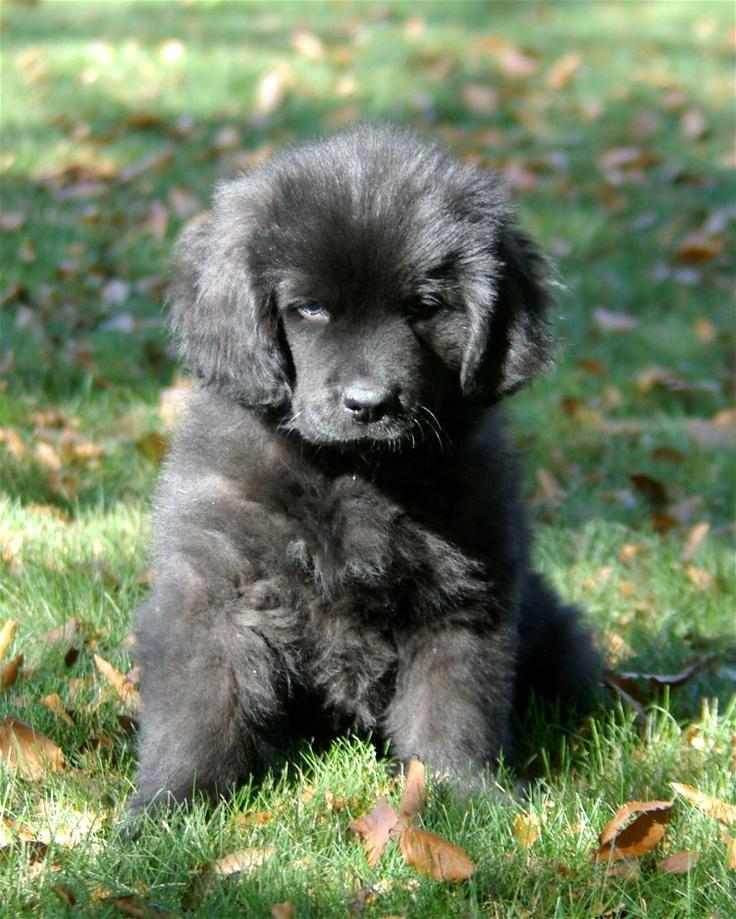 Newfoundland Puppy: Add Man's Best Friend