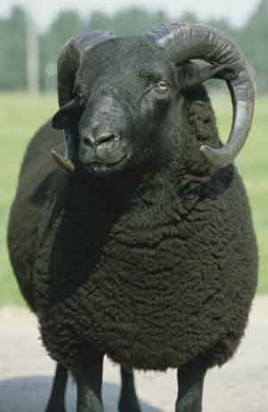 """black welsh mountain sheep @Highland Wool and Textiles; Iago is telling Brabantio that Othello is with Desdemona. Visual imagery. """"...an old black ram is tupping your white ewe."""" (Act 1 Sc.1 - lines 97 - 98)"""