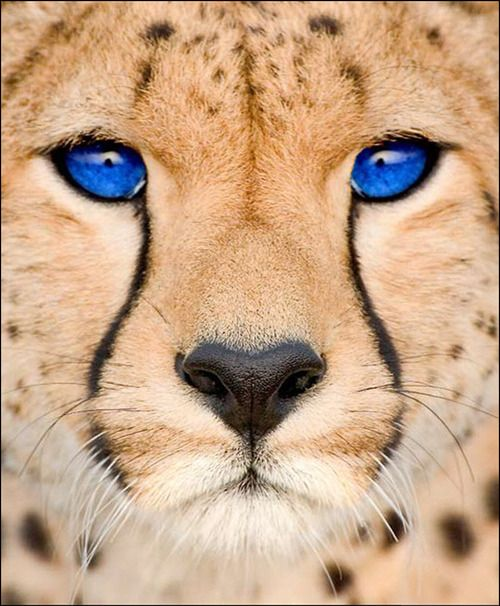 Blue-eyed cheetah. Most fascinating wild blue eyes. I swear this is photoshopped but anyway it's fascinating...
