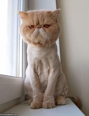 """I am not happy."" -poorly shaved cat.. hahahahahaha its like when ceaser had to get all shaved off hahahahaha"