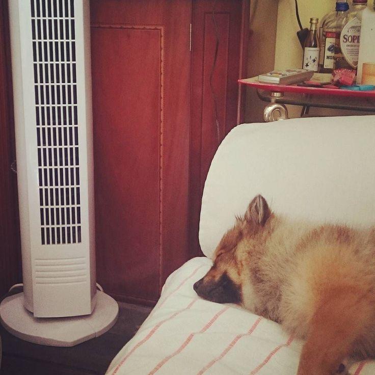 Y si en lugar del aire acondicionado es sólo un ventilador...también me vale #pomeranian #cute #dogsofinstagram #instadog #spitz #dog #love #pom #petstagram  #dogstagram #lulu #fluffy #puppy #pet #luludapomerania  #dogoftheday #cane #instapom #pomstagram #pompom #instapuppy #germanspitz #boutiquedenancy