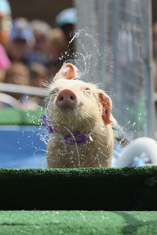 Pig bath! Country living… mel