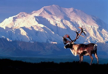 Seeing a moose and Mt. McKinley on a sunny day at Denali National Park, #Alaska. What a day that would be!