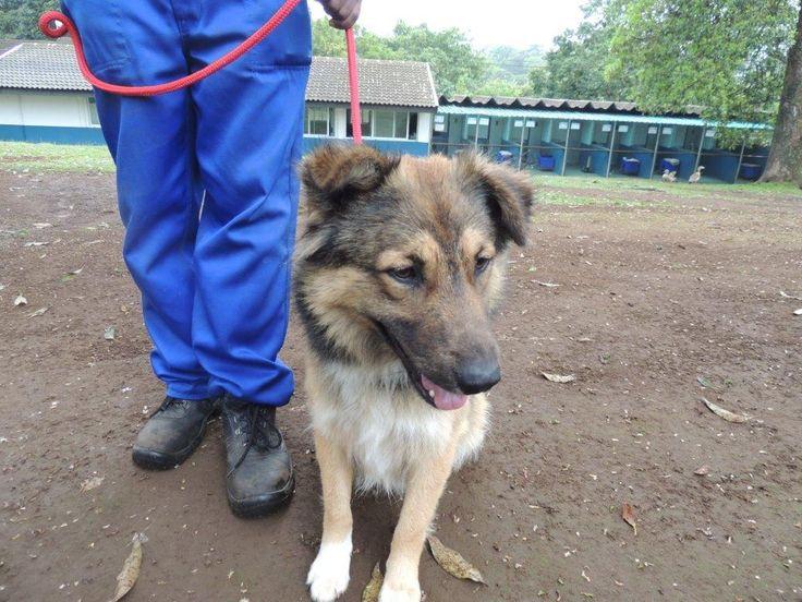 Kennel 42:  Collie cross German Shepherd male.