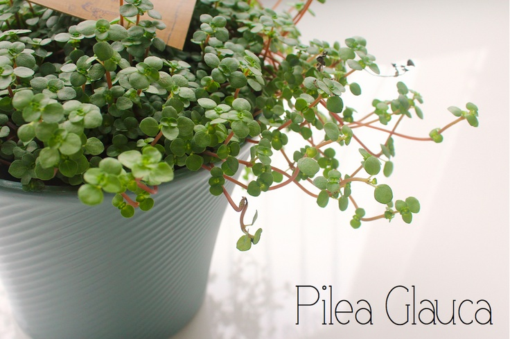 Pilea Glauca, one of my faves | Green and Grow | Pinterest