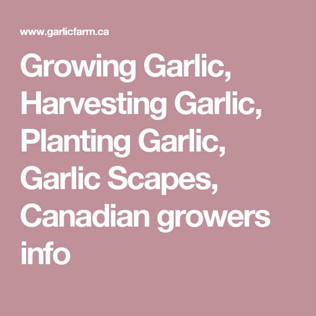 Growing Garlic, Harvesting Garlic, Planting Garlic, Garlic Scapes, Canadian growers info