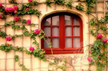 .: Climbing Rose
