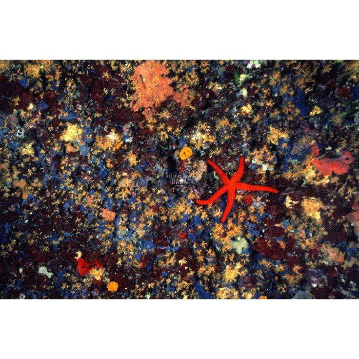 |Coriandoli marini| - Fotografia Tuffarsi nelle acque smeraldine della Sardegna regala inaspettate opere d'arte. Coriandoli di mare che fanno luccicare gli occhi. Piccole macchie di colori compaiono improvvisamente giocando con la nostra immaginazione. Solo la grande #stellamarina rossa sulla destra irrompe sulla scena catturando la nostra attenzione.