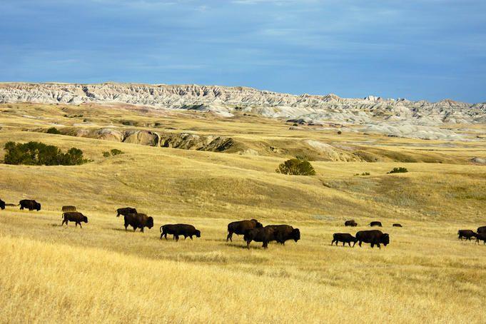 Bison, Badlands National Park, South Dakota
