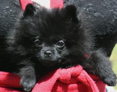 "My little black Pomeranian, India, is the answer to some 30-mumble years of wishes, hopes, and dreams. I've always been violently allergic to anything with fur or feathers, yet I've wanted a puppy since I was about four. At Christmas all my friends were making wish-lists on behalf of their puppies, so I made one for ""my puppy,"" a Snoopy dog that I'd dragged around by the ears for years. I asked for dog biscuits for Snoopy, and my understanding parents gave them to me, and I ate a dog biscuit..."