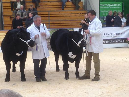 Apologies! We forgot to let you know how we got on at Agri-Expo in Carlisle. We did pretty well - a 1st with Cheeky Vimto in the Native Steer class and 2nd with Patsy in the Galloway Heifer class.