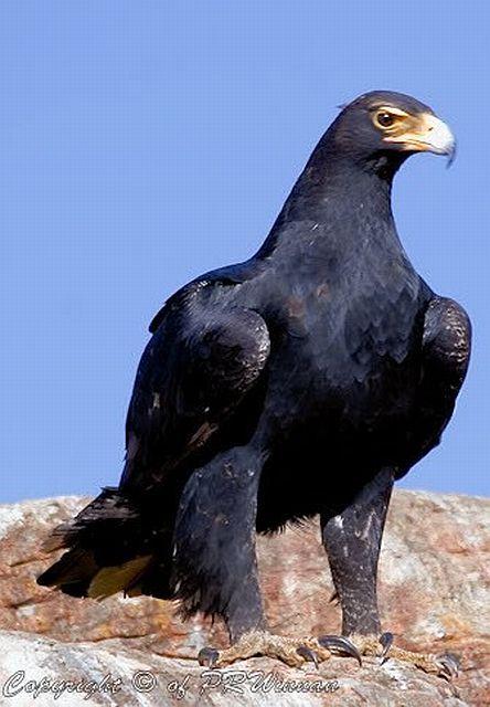 Black Eagle ( Africa )