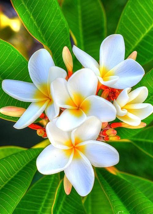 White Singapore Plumeria