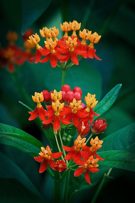 ✯ Butterfly Milkweed...plant each year to help the monarch and queen butterflies to lay their eggs on and make more butty's for you to enjoy watching flutter around your garden!