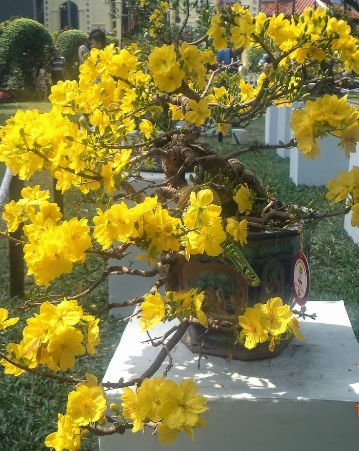 8 best Hoa. Mai tết images on Pinterest   Apricot blossom ...